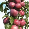 Яблоня Червонец (колоновидная)