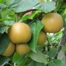 Яблоко-груша Олимпик