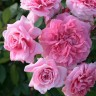Роза Зайде