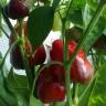 Перец Бухарест (сер. Урожай на окне)