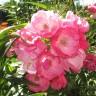 Роза Ангела