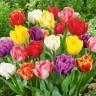 Тюльпаны махровые, смесь 15 шт