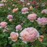 Роза Принцесса Шарлен де Монако MEILLAND