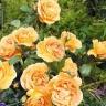 Роза Бернштайн роуз