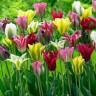 Тюльпаны Виридифлора, смесь