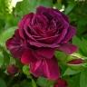 Роза Традескант