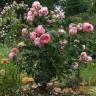 Роза Комтесс де Сегюр штамбовая