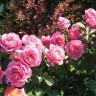 Роза Джемма