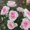 Роза Морден Блаш