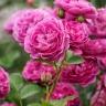 Роза Блю Бой