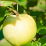 Яблоня Медок (колоновидная)