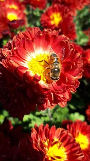 Ноябрь, а пчёлы трудятся....