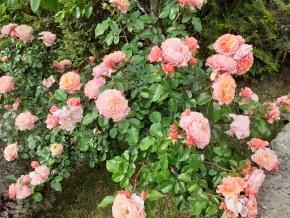 Мария кюри роза