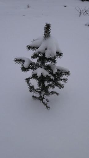 Ель голубая под снежком, 1 годик