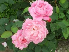 Мэри роуз, повторное цветение