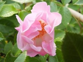 Rose lakeland