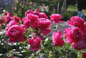 Rose grande dame