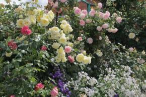 Плетистые розы эльф и пьер де ронсан