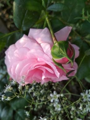 Роза без названья