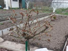 Роза штамбовая розарио ютерсен после зимовки