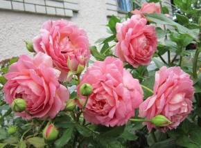 Rose jubilee celebration