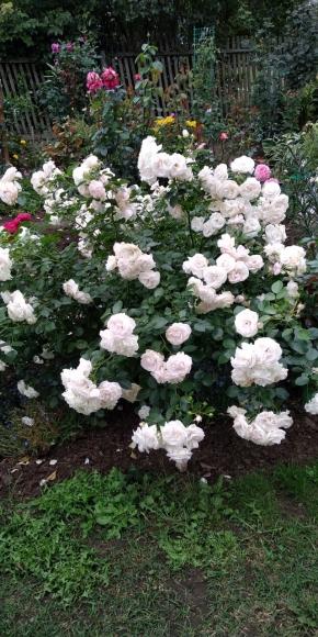 Розы в сентябре.
