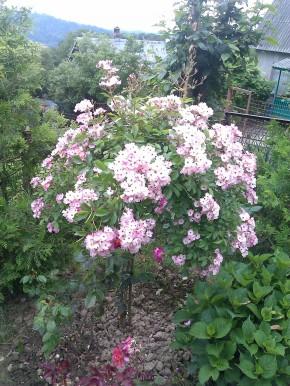 Балерина роза