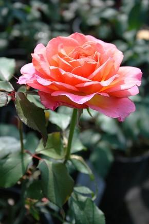 Rose albrecht durer