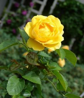 Rose lemon zest