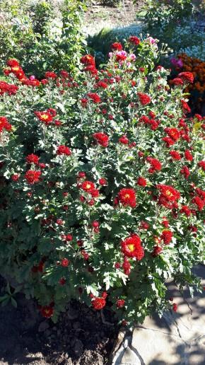 Осенний хризантемный привет!