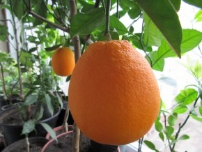 Спеет апельсин