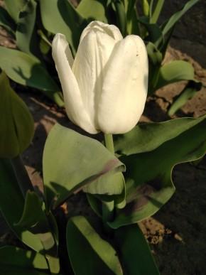 Тюльпан хакун